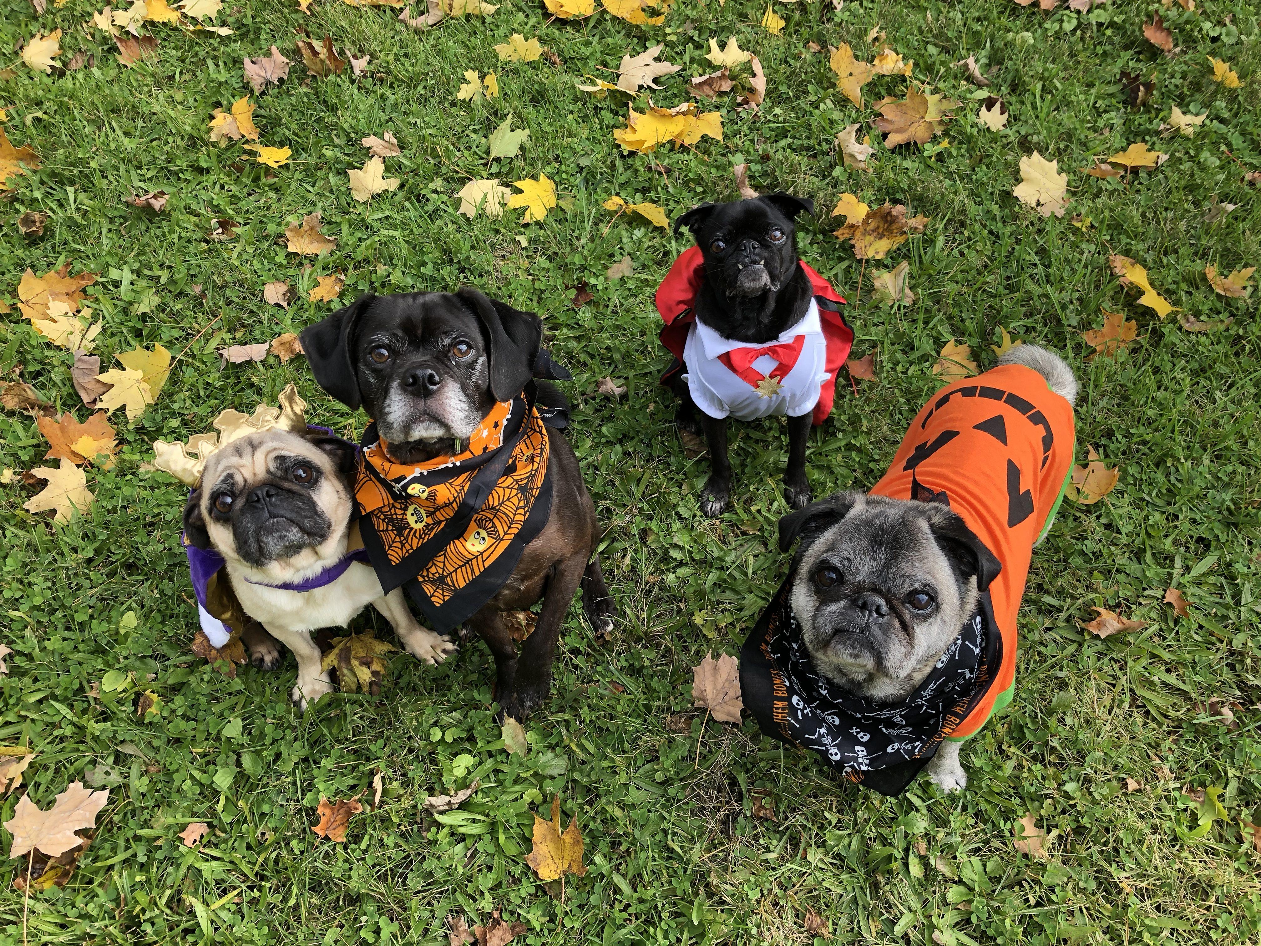 Kostiumy dla psów na Halloween – zabawa czy przesada?